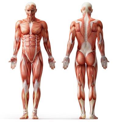 "پاورپوینت ""آناتومی عضلات بدن انسان"""