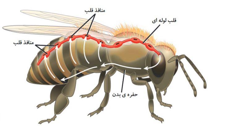 دانلود پاورپوینت دستگاه گردش خون در حشرات