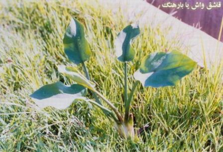 پاورپوینت كنترل گیاه هرز به روش بیولوژیكی