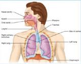 دانلود جزوه جنین شناسی سیستم تنفس (منابع علوم پایه)