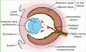 دانلود جزوه جنین و بافت حواس ویژه (منابع علوم پایه)