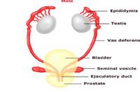 دانلود جزوه جنین شناسی دستگاه ادراری تناسلی (منابع علوم پایه)