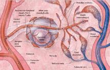 دانلود جزوه بافت شناسی سیستم قلبی عروقی (منابع علوم پایه)